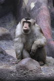 Staring southern pig-tailed macaque Stock Photo