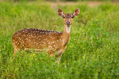 Staring spotted deer Royalty Free Stock Photography