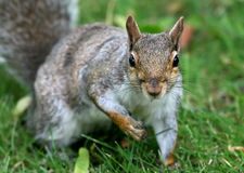 Staring Squirrel Royalty Free Stock Photos