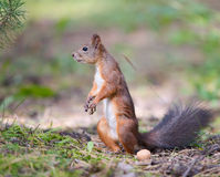 Staring squirrel Royalty Free Stock Images