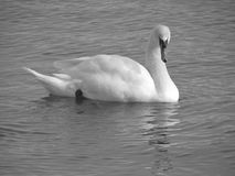 Staring swan Stock Images