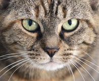 Staring. Tabby cat with green eyes staring Stock Images