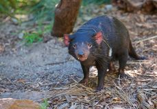 Staring at the Tasmanian Devil. A Tasmanian Devil gives us a stare whilst he is foraging for food at the Healesville Sanctuary just outside of Melbourne royalty free stock images