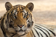 Staring tiger. A close up shot of a tiger Royalty Free Stock Image