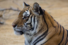 Staring tiger Stock Image