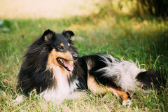 Staring To Camera Tricolor Scottish Rough Long-Haired Collie Las. Staring To Camera Tricolor Rough Collie, Scottish Collie, Long-Haired Collie, English Collie Stock Image