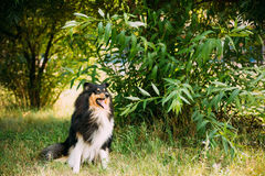 Staring To Camera Tricolor Scottish Rough Long-Haired Collie Lassie Adult Dog. Staring To Camera Tricolor Rough Collie, Scottish Collie, Long-Haired Collie Stock Photo