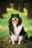 Staring To Camera Tricolor Scottish Rough Long-Haired Collie Lassie. Staring To Camera Tricolor Rough Collie, Scottish Collie, Long-Haired Collie, English Collie Stock Photography