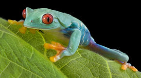 Staring tree frog Royalty Free Stock Photography