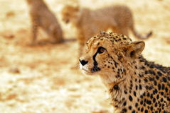 Staring upwards. A young cheetah cub portrait Royalty Free Stock Images