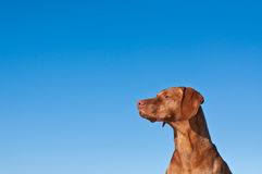 Staring Vizsla dog with blue sky. The head and neck of a vizsla dog (Hungarian pointer) with a deep blue sky in the background Royalty Free Stock Images