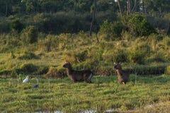 Staring. Waterbuck staring while standing in natural pond during last light in Masai Mara, Kenya Stock Images