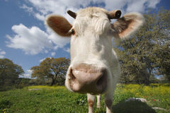 Staring white cow (2). White cow standing on the meadow and staring on you Stock Image