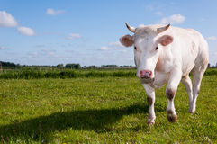 Staring white cow with horns Royalty Free Stock Photo