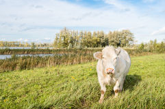 Staring white cow Stock Images