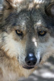 Staring wolf Royalty Free Stock Images