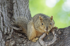 Staring You Down. Squirrel perched on a tree branch staring out Stock Photography