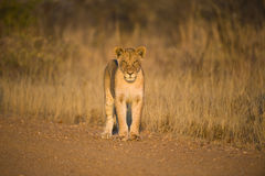 Staring young Lion Royalty Free Stock Photos