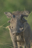 Staring. Young warthog staring down at river Royalty Free Stock Photography