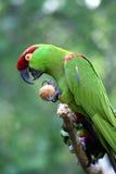 Stark-berechneter Papagei Stockfotos