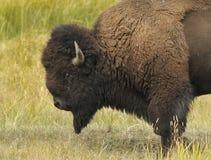 stark bison arkivbild