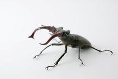 stark felcervuslucanus Arkivfoton