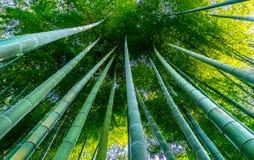 Stark japansk bambu Arkivbilder