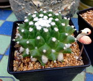Stark kaktus Arkivbilder