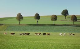 Minimalist Landscape with Trees and Cows stock photography