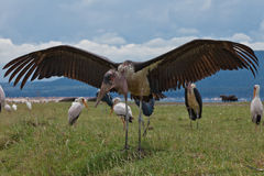 Stark marabou. With open wing on the grass, wildlife, Lake Nakuru, Kenya 2011 Royalty Free Stock Photos