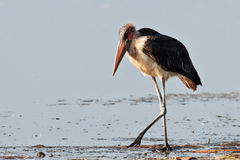Stark marabou walk on the water Royalty Free Stock Photos