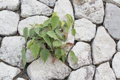 Stark planta som växer i stenen Arkivfoto