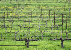 Stark vineyard rows in Winter. Hillside grape vines in the Napa Valley Royalty Free Stock Photos