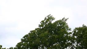 Starka vindar skakade träden stock video