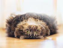 Starke flaumige Katze liegt sich entspannte auf seinem Rückseite und Blicke in die Kamera auf Holzfußboden Lizenzfreie Stockfotografie