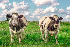 2 starke Kühe in der Wiese Lizenzfreie Stockfotos