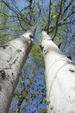 Starke majestätische Bäume Stockfoto