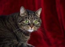 Starke nicht reinrassige gestreifte Katze, die auf eine rote Wolldecke stützt stockbild