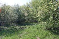 Starke Niederlassungen eines verlassenen Apfelgartens lizenzfreies stockfoto