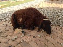 Starke Schafe am Bauernhof stockfoto