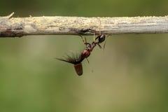 Starke und fleißige Ameise trägt Samen Stockbild
