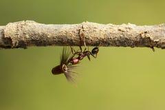 Starke und fleißige Ameise trägt Samen Stockbilder