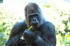 Starker erwachsener schwarzer Gorilla Stockbilder