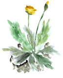 Starker gelber Löwenzahn auf einem weißen Hintergrund watercolor Lizenzfreie Stockfotografie