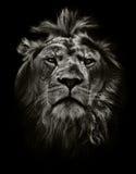 Starker Löwe stockbilder