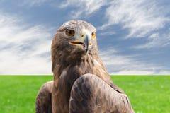 Starker Raubvogelvogel des Steinadlers gegen bewölkten Himmel und Gras Lizenzfreie Stockbilder