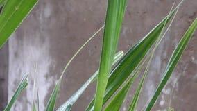 Starker Regen, der auf grüne Palmblätter fällt stock video
