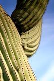 Starker Saguaro Stockfotos