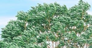 Starker Sturmwind beeinflußt die Bäume stock video footage