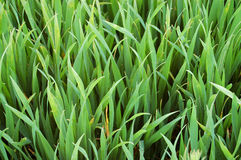 Starkes grünes Gras Stockfoto